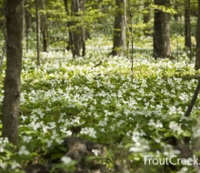 Beautiful Trillium on our trails in the springtime